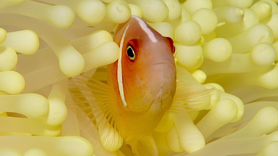 Beautiful anemone clown fish - scuba diving in Indonesia KOMODO with WAOW luxury liveaboard