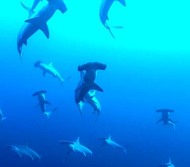 Plongez dans la mer BANDA en Indonesia, triangle de corail, rencontrez les requins marteau et autres pélagiques, banc de barracudas, Cobra serpents de mer et bien plus, à bord de l'ultime bateau de plongée Liveaboard MSY WAOW Pinisi