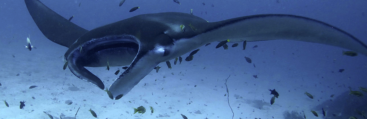 Manta ray in Komodo - Manta Alley - Diving in Indonesia with liveaboard WAOW