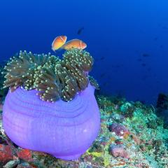 WAOW, bateau de croisière plongée luxe, navigue en Indonésie Raja Ampat, Moluques, Ambon, Papouasie, BandaNeira, Célèbes, Bay de Triton, Kaimana . Anémone et poisson clown