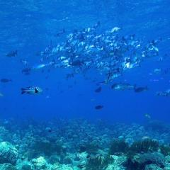 Pinisi Charter vessel and luxury liveaboard WAOW cruising, sailing and scuba diving in Indonesia Raja Ampat, Papua Barat, Moluccas, Seram sea,Triton Bay, Kaimana and Ambon. scubadiving Koon island