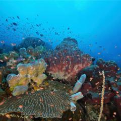 WAOW liveaboard et bateau de croisière plongée, plonger Indonesie Ile d'ALOR paradis du photograph sous-marin pour macro photo Creatures rares, corail et récifs -