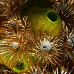 WAOW liveaboard et bateau de croisière plongée, plonger Indonesie Ile d'ALOR paradis du photograph sous-marin pour macro photo Creatures rares, corail et récifs - acides