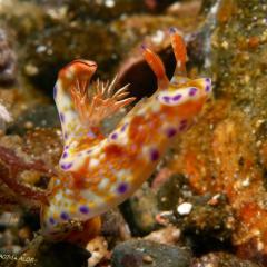 WAOW liveaboard et bateau de croisière plongée, plonger Indonesie Ile d'ALOR paradis du photograph sous-marin pour macro photo Creatures rares, corail et récifs - Nudibranche