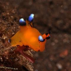 WAOW liveaboard et bateau de croisière plongée, plonger Indonesie Ile d'ALOR paradis du photograph sous-marin pour macro photo Creatures rares, corail et récifs - nui Pokemon