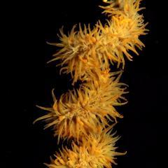 WAOW liveaboard et bateau de croisière plongée, plonger Indonesie Ile d'ALOR paradis du photograph sous-marin pour macro photo Creatures rares, corail et récifs - corail