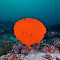 WAOW liveaboard et bateau de croisière plongée, plonger Indonesie Ile d'ALOR paradis du photograph sous-marin pour macro photo Creatures rares, corail et récifs - hardcoral