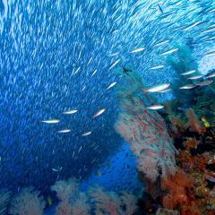WAOW liveaboard sailing for diving in Indonesia, Papua Barat Raja ampat, the 4 Kings, Misool, Penemu, Wayag, Dampier Strait, cape Kri,  Raja Ampat