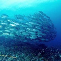 Diving WAOW liveaboard für Tauchsafari Moluccas Halmahera Schooling jack fish