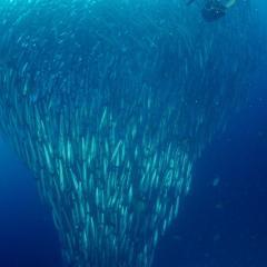 Diving WAOW liveaboard für Tauchsafari Moluccas Halmahera Barracuda Schwarm