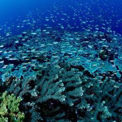 Diving WAOW bateau de croisière plongée Moluccas Halmahera corail dur & Anthias