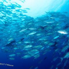 Diving WAOW bateau de croisière plongée Moluccas Halmahera banc de carengues