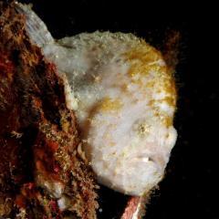 Diving WAOW bateau de croisière plongée Moluccas Halmahera Poisson crapeau Frog fish
