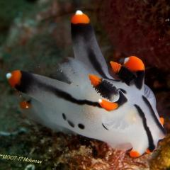 Diving WAOW bateau de croisière plongée Moluccas Halmahera Nudibranche Pokémon