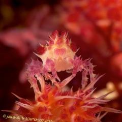 WAOW Liveaboard scuba diving Moluccas Halmahera  Candy crab